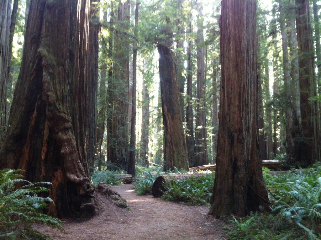California Redwoods 2015 052