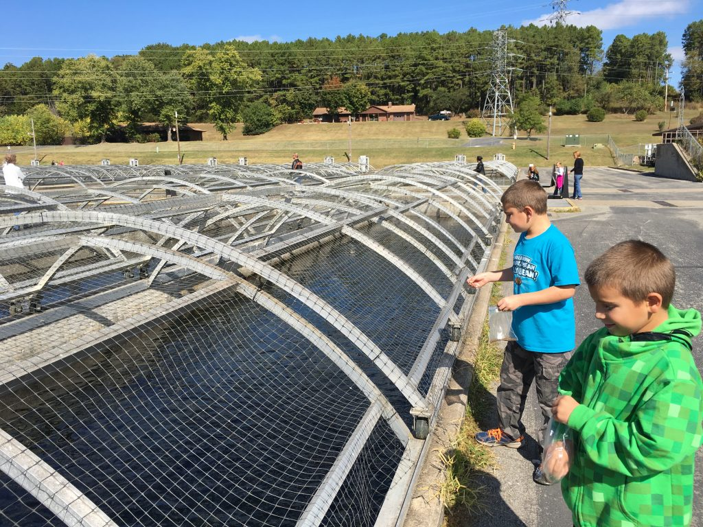 Feeding trout at the Fish Hatchery.